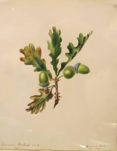 """""""Common British Oak - Quercus Robur"""""""