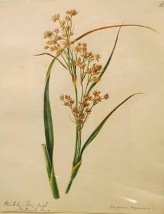 """""""Cladium Mariscus"""""""
