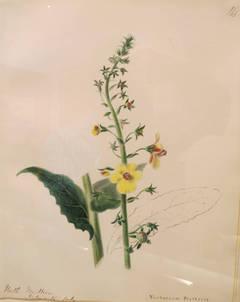 Moth Mullein-Verbascum Blattaria