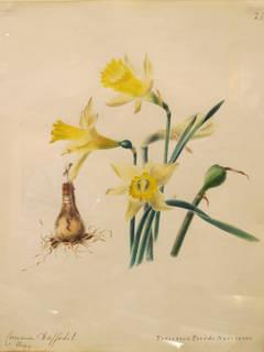 """Common Daffodil - Narcissus Pseudo Narcissus"""