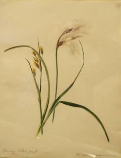 """""""Common Cotton Grass - Eriophorum Angustifolium"""