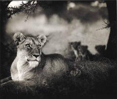 Nick Brandt, Monumental Photo - Lioness with Cubs Under Tree, Serengeti