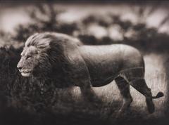 Nick Brandt, Monumental Photo - Windswept Lion, Serengeti