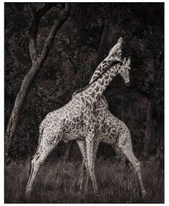 Nick Brandt, Monumental Photo - Giraffes, Masai Mara