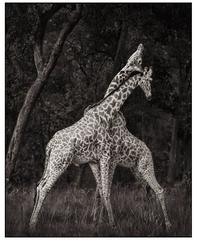 Nick Brandt, Monumental Photo - Giraffes, Masai Mara