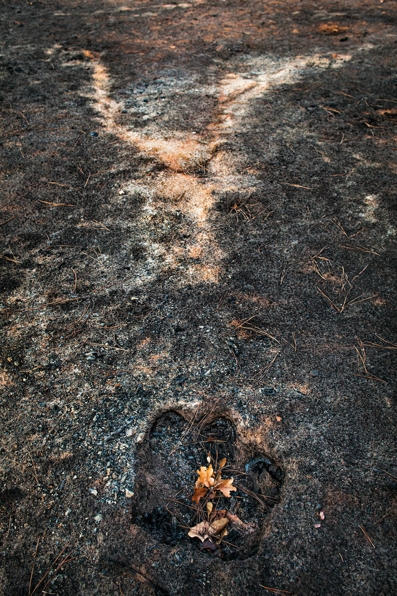 Stump hole and ash from a burned tree, East Bastrop, Texas