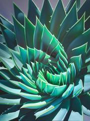 """Santa Barbara Swirl, Symmetrical Aloe"""