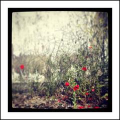 Poppys II