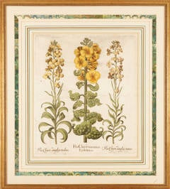 Hand colored engraving Botanical