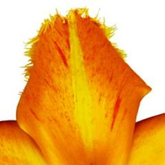 Flaming Parrot Tulip IV