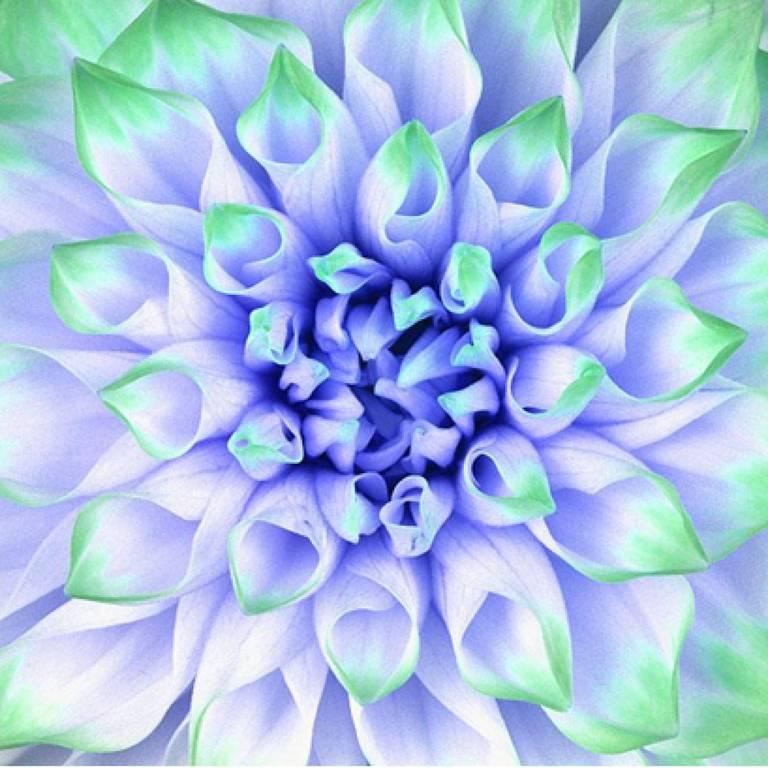 Howard Schatz Color Photograph - Dahlia (Formby Perfection) #2