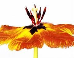 Gudoshnik Tulip #5