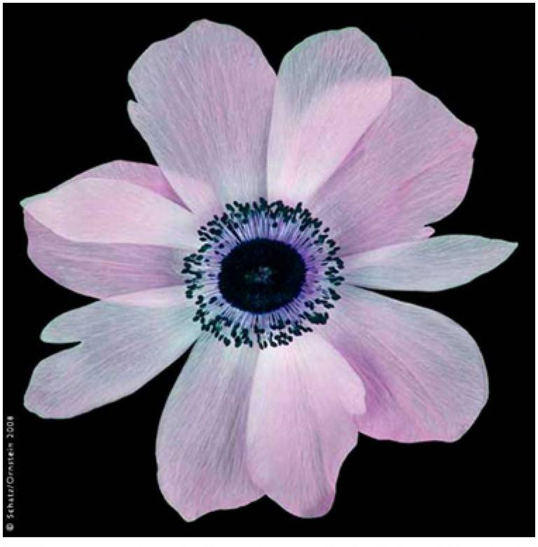 Poppy Anemone (Anemone coronaria) #9