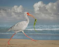 White Ibis With Fish