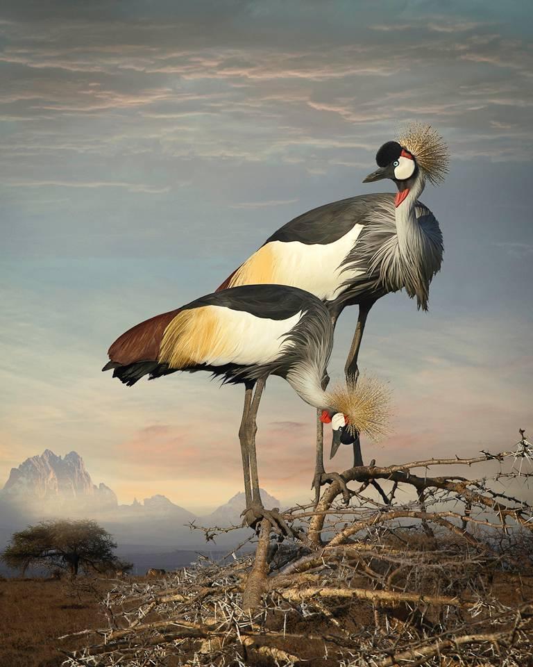 Cheryl Medow Color Photograph - Grey Crowned Cranes