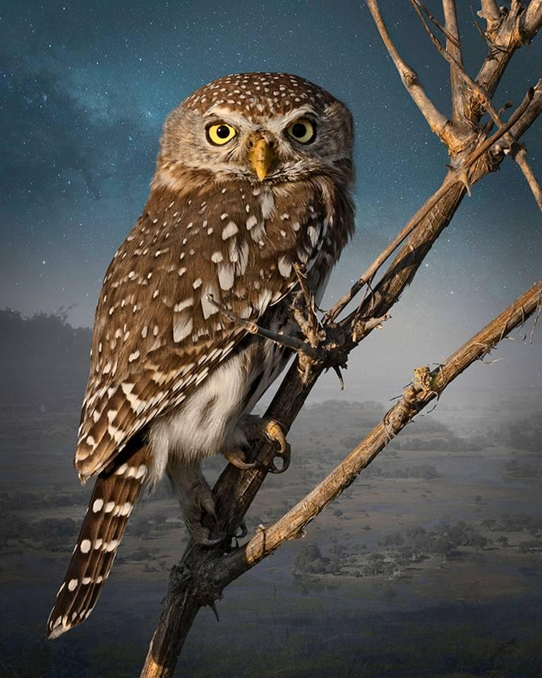 Cheryl Medow Landscape Photograph - Pearl - Spotted Owlet