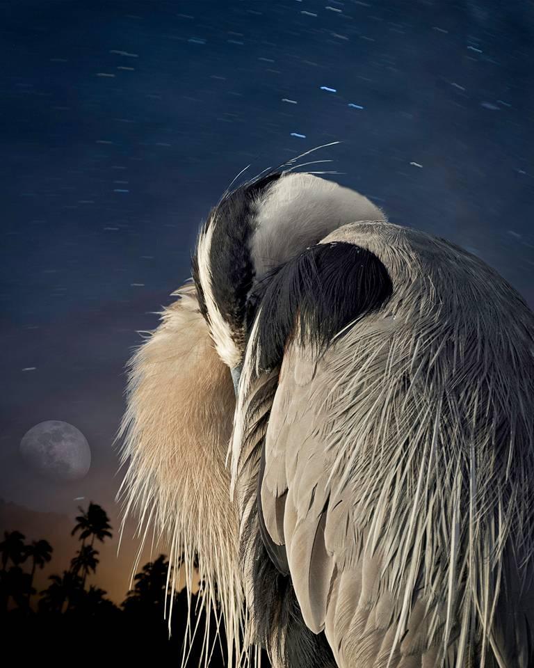 Cheryl Medow Portrait Photograph - Great Blue Heron at Rest