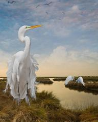 Great Egrets in the Bayou