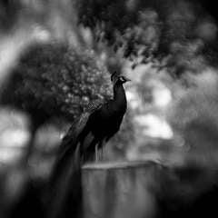 Peacock Study No. 2