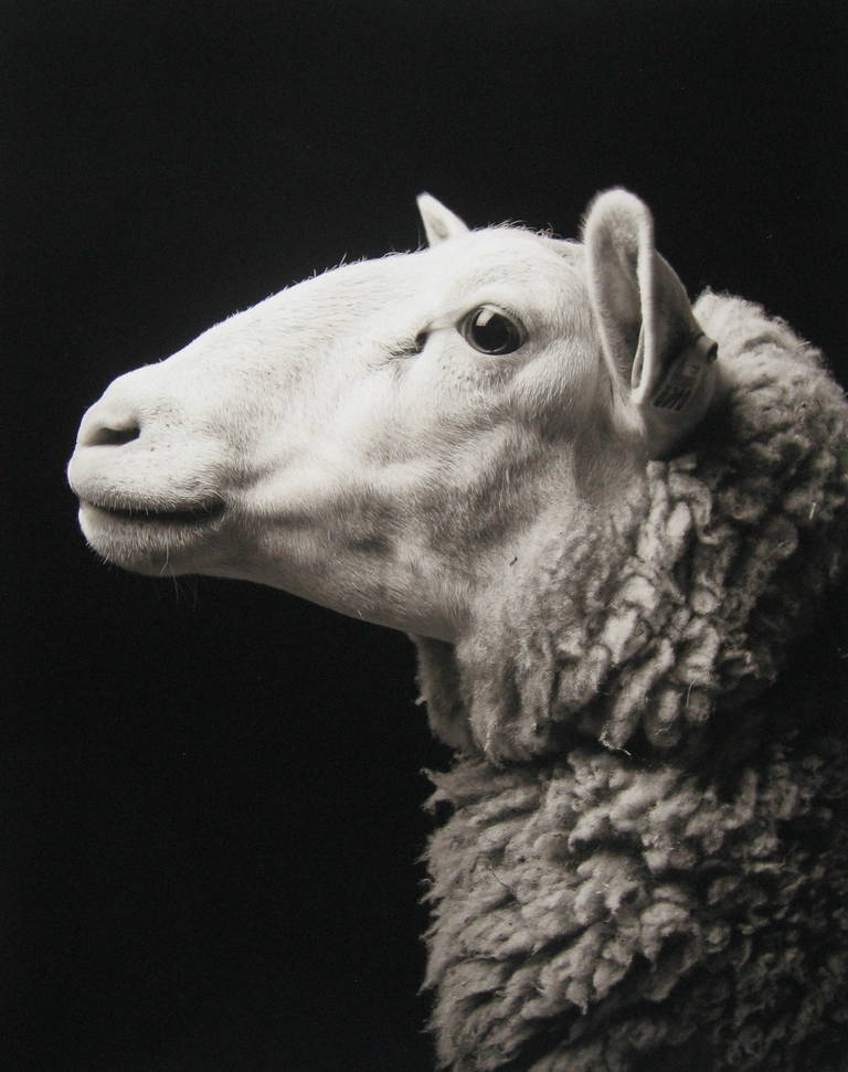Edition of 8 Signed, titled, dated, numbered, and copyright. Paper size: 30 x 24 in. Image size: 28 x 22 in. From the Chattel series.  Kevin Horan photographs goats in a very regal manner in his series, Chattel. A variety of domestic goats and sheep