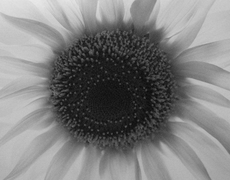 Paul Caponigro Still-Life Photograph - Sunflower