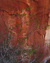 Redbud in Bloom, Hidden Passage, Glen Canyon. April 10, 1963