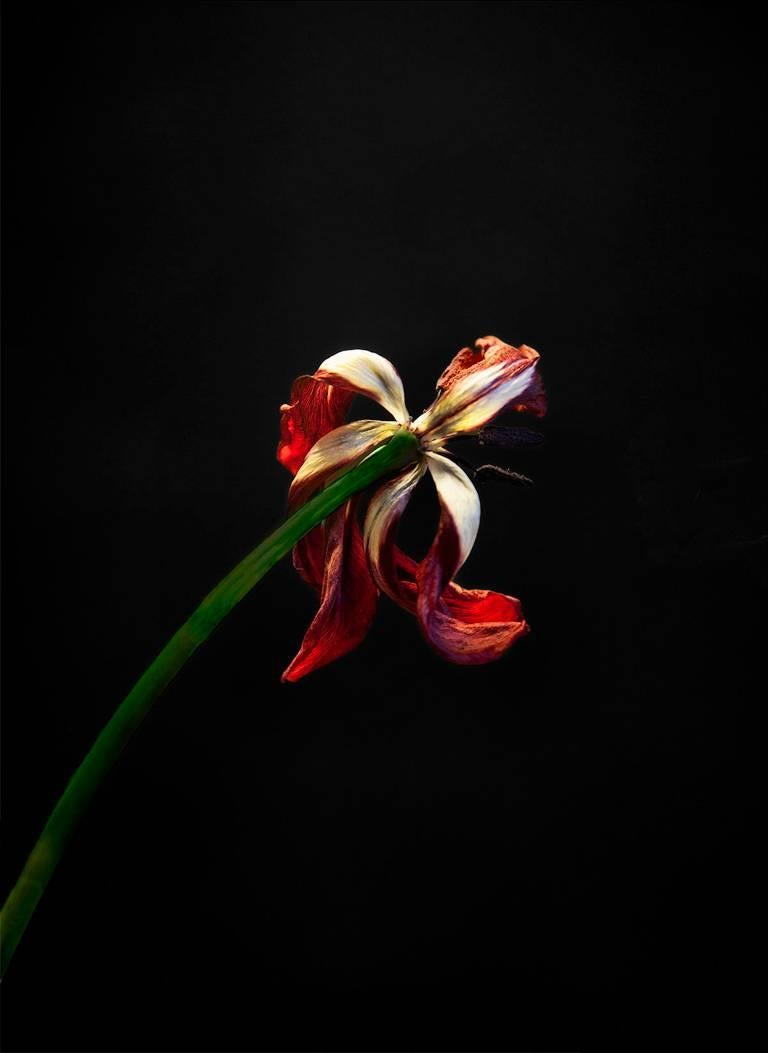 John Herrin Still-Life Photograph - Flower #1