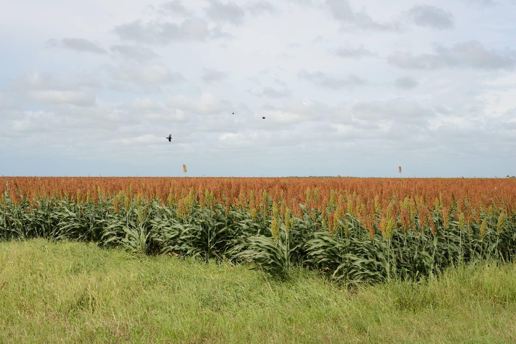 South Texas: Sorghum field with blackbirds near Falfurrias