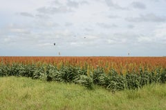 South Texas: Sorghum field with blackbirds near Falfurrias