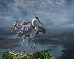 Great Blue Courtship