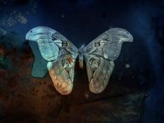 Blue Atlas Moth