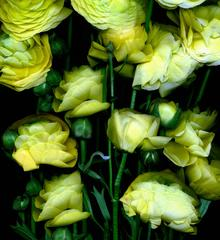 Yellow Flowers, green stems, on black background, Yellow Alive,