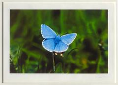 Love Prints - Adonis Blue Butterfly