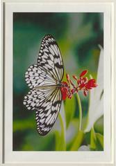 Love Prints - Paper Kite Butterfly on Oleander