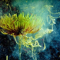 Chrysanthemum: Still Life Photograph of Yellow Flowers in Contemporary Pop Style