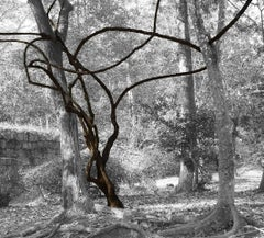 Vine in Forest (Contemporary Landscape Photo of Abstract Vines in B&W Woods)
