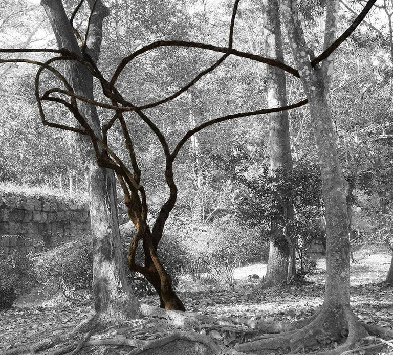 Stephanie Blumenthal Abstract Photograph - Vine in Forest (Contemporary Landscape Photo of Abstract Vines in B&W Woods)
