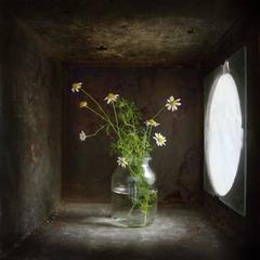 Chamomile (Contemporary Still Life Study in Light Box w/ Diffused Light)