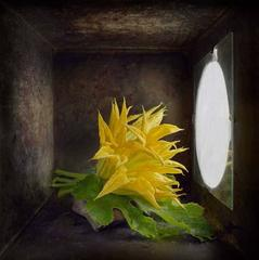 Yellow Zucchini Flower (Contemporary Still Life Study in Light Box)