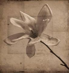 Gray Magnolia (Elegant Sepia Toned Photo Collage on Wood of Magnolia Flower