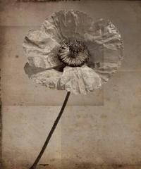 Poppy #4 (Modern, Sepia Toned Photo Collage on Wood of Single Poppy Flower)