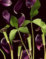 Secret Lives of the Jack in the Puplits (Modern Floral Still Life Print)