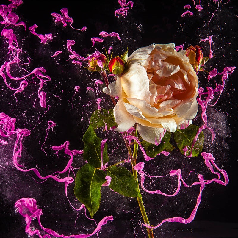 Rose (Contemporary Floral Still Life Photograph of Pink Rose with Paint Details)