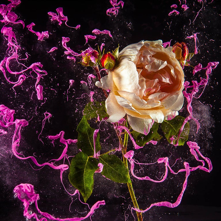 Newbold Bohemia Color Photograph - Rose (Contemporary Floral Still Life Photograph of Pink Rose with Paint Details)