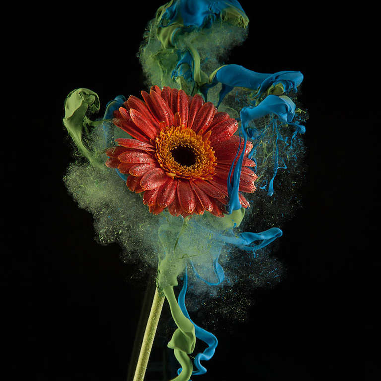 Newbold Bohemia Color Photograph - Gerbera (Unique Still Life Portrait of a Red Flower floating in Blue Paint)
