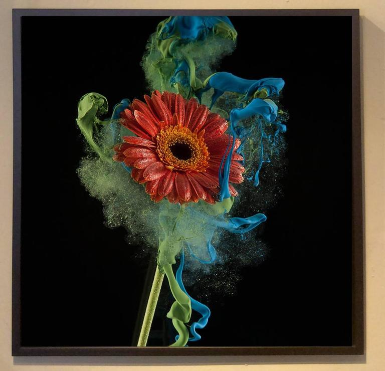 Gerbera (Unique Still Life Portrait of a Red Flower floating in Blue Paint) - Photograph by Newbold Bohemia