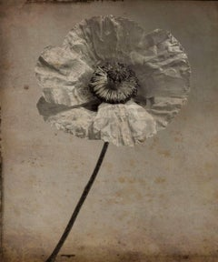 Poppy Flower #4 (Modern, Sepia Toned Photograph with Mixed Media)