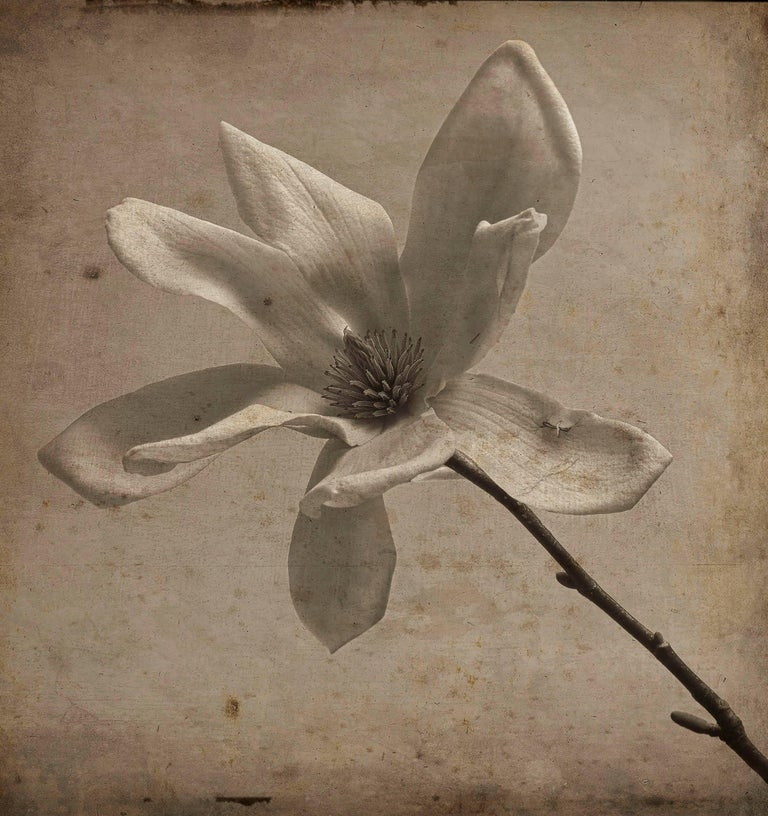 David Seiler Black and White Photograph - Gray Magnolia (Elegant Sepia Toned Photograph with Mixed Media of Single Flower)