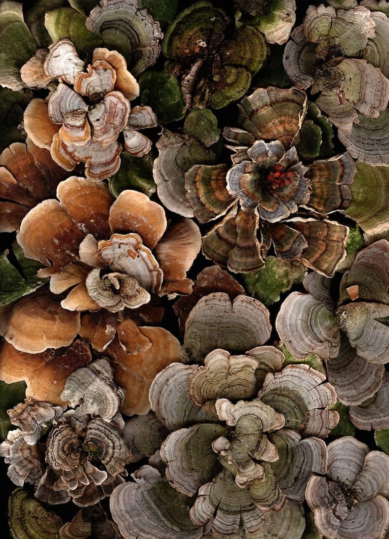 Lisa A. Frank Still-Life Photograph - Arranged Turkey Tails (Contemporary Still Life Photograph of Earth Toned Moss)