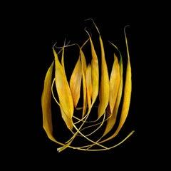 Bamboo 28 (Modern Still Life Photo of Bright Yellow Bamboo on Black Background)